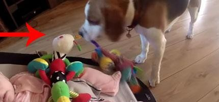 狗狗把小寶寶的玩具搶走,後來因為罪惡感而最出他所知道的最好的補償。