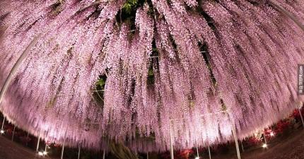 你看過這個之後,以後可能就不會再想要去賞櫻花了。看起來就像是一片粉紅色的天空。