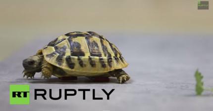 這隻小烏龜先天疾病讓他無法爬行,直到一名獸醫在他的殼下面黏兩塊樂高!