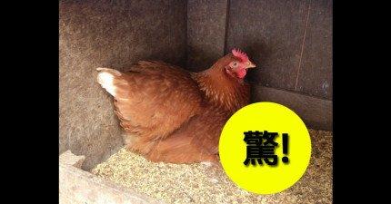 在你看到這隻日本母雞生出來的驚奇雞蛋時,你就會發現原來他們的母雞工作也比我們勤勞!