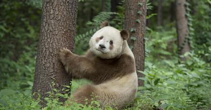 熊貓不全是黑白的!這隻「棕白熊貓」就罕見到連科學家都搞不懂為什麼!