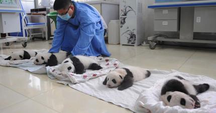 中國誕生了新一批比LINE貼圖還可愛的熊貓寶寶。超萌睡覺模樣差點要了我老命啊~