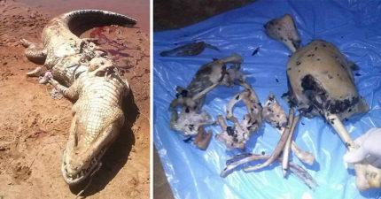 農夫突消失不見,2周後在4公尺巨鱷「肚子裡」找到...