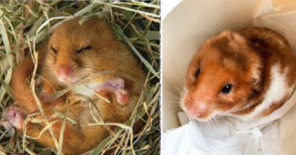 網友揭露倉鼠「假死」秘密,你也殺死過倉鼠「其實只在冬眠」...網崩潰:我不知道已經活埋了幾隻倉鼠…