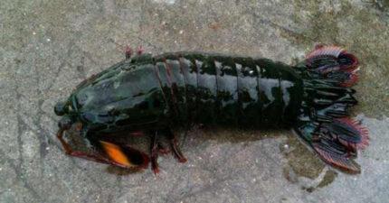 釣到神祕大龍蝦捨不得吃「養在魚缸」,隔天魚缸爆裂魚全死光…「兇手」大有來頭!