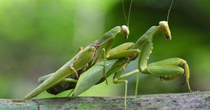 死了都要X!雄螳螂被咬斷頭「仍前前後後活塞運動」,生前「破處」是超級奢侈遺願!(影片)
