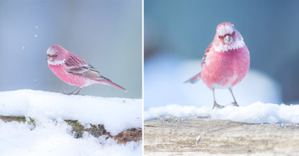 活生生的玫瑰!他在雪地中拍到「粉色奇鳥」,光照片就帶給網友滿滿戀愛運!