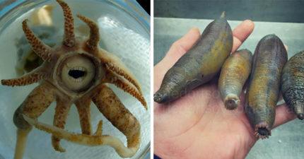 15種「根本是從惡夢中走出來」最讓人類感到恐懼的獵奇生物,海底小飛象超奇特!