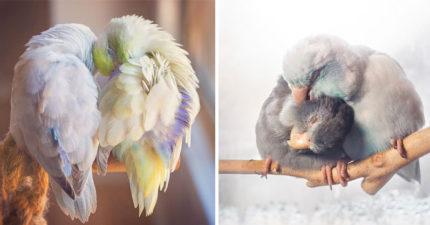 他拍下他養的鸚鵡「浪漫日常」最美愛情故事,每一張都讓你冷酷的心融化!