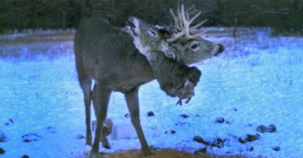 超野蠻!森林攝影機拍到野生鹿「角上掛著整顆割斷鹿頭」走來走去...