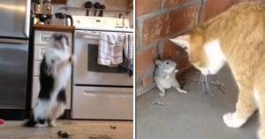 貓皇「怕老鼠」嚇到不敢亂動 當場「跳恰恰」主人笑翻!