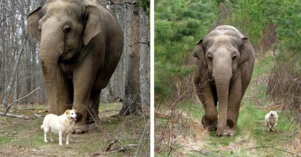 好麻吉先走一步了!大象每天站墓前發呆 飼養員心疼淚崩:也是牠把狗狗運回來的...