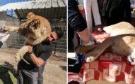 為了讓遊客「親密互動」 動物園讓小獅子「強制被截肢」再嗆網友:這才不殘忍