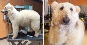 造型師把「愛犬變成北極熊」滿意炫耀 網友找到「牠之前的慘樣」暴怒:根本就假愛狗!