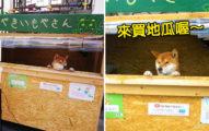 日本街頭出現「柴柴當老闆」的烤地瓜店 超萌探頭撒嬌:請給小費,我才可以買零食!