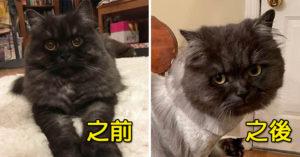 影/蠢爸帶貓皇去剪毛 霸氣交待要「像老虎一樣」結果全家傻眼:是夜市小吃嗎?
