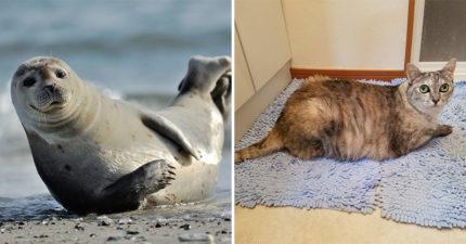 貓奴上傳肥美短「邪惡視角照」豐滿肉肉全露出 網驚呆:以為是海豹!