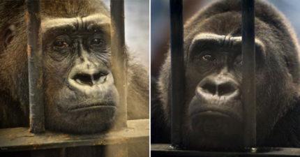 影/黑猩猩「長達27年」被困違建動物園 牠「焦慮拔毛」流淚畫面曝光超心碎!