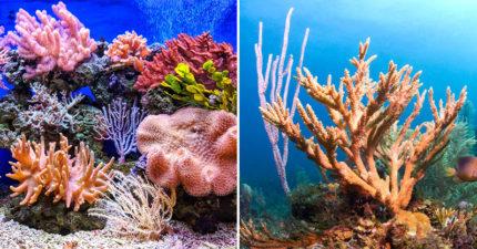 科學家意外發現讓珊瑚「40倍速暴風成長」方法 「3年→3週」準備急速救地球!