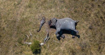 非洲獵象禁令解除!導演驚險「潛入獵區」卻嚇壞 黑心商把大象「切一半」:這樣才方便