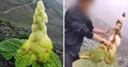 珍貴植物「45年開一次花」被野蠻男手撕吃下 專家狂搖頭:這輩子不會再有