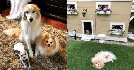 主人幫愛犬打造「人類住不起」的夢幻豪宅 網看内部「超精緻設計」暴動:準備投胎了