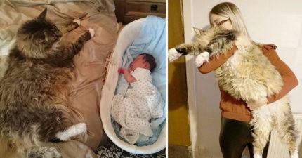 以為養到獅子!萌貓打破紀錄成「世界上最大的貓」比小孩還高