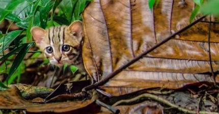 影/BBC曝光「世界上最小的貓」介紹片段 牠只有「掌上型大小」用樹葉就可以藏起來!