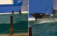 影/小海豚趁沒表演「在水裡玩耍」 網友揭開「心酸反差」動作差超多