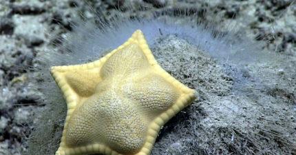 科學家發現「外型獨特的海星」爆紅 網見「身體構造+顏色」驚呆:確定不是水餃?