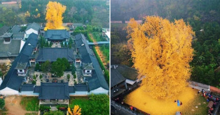 中國超壯觀「千年老銀杏」引遊客瘋狂朝聖 網友「一句話歪樓」影響眾人:看不下去了