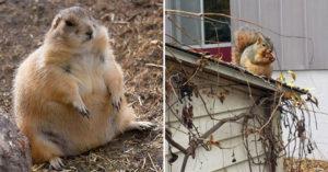 網友捕捉「為了過冬吃太多」的超萌小松鼠 肚楠肉一大坨...雙手都合不起來!