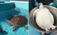 海洋中心曝光「小海龜量體重」超萌畫面 無言臉「放棄治療」融化一堆網友!