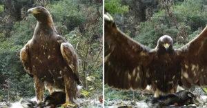 影/《神鵰俠侶》是真的!湖北驚現「1.2公尺金鵰」獵食畫面曝光:楊過快來