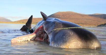 10歲抹香鯨意外擱淺 專家解剖胃裡囤積「100公斤垃圾」內容物超可怕!