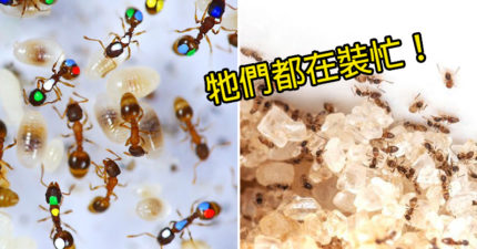 科學家「打臉螞蟻」戳破世紀謊言 40%「都在裝忙」還有螞蟻的工作是偷懶!