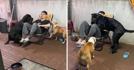 獒犬「暴風成長」變60公斤 牠忘記「自己長大了」興奮狂撲主人…下場超爆笑