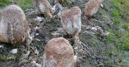 田裡出現「異型蛋」把農夫嚇壞 撥掉外殼...真相居然「超好吃」!
