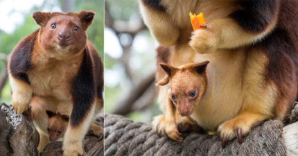 「會爬樹的袋鼠」有超萌小熊耳 全球「努力生」搶救絕種!