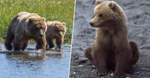 美國發佈「殘酷新法」!獵人可以捕殺「冬眠的小熊」也能抓來當誘餌