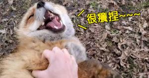 萌狐狸被摸肚肚「人類式崩潰大笑」網友嚇翻:真實聲音好可怕