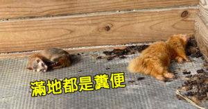 屏東生態農場雪貂「喝髒水+睡在便便上」民眾心碎:嘴都爛了