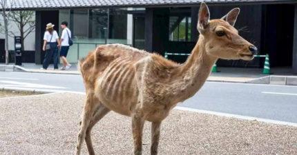 瘦到皮包骨!奈良鹿「仙貝成癮」不吃草 專家卻發現:更健康了