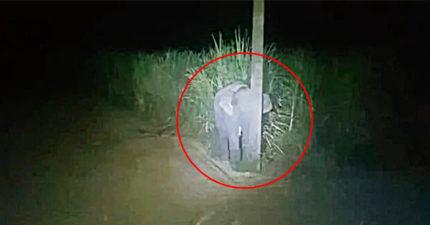 偷吃甘蔗被抓包!小象「呆躲電線杆照」:不要動就安全了