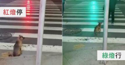 浪浪坐等「40秒紅燈」過馬路 「超守規矩」比人還有水準