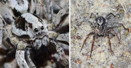 「大狐狸蜘蛛」消失25年重現江湖...用毒液溶解獵物超兇!