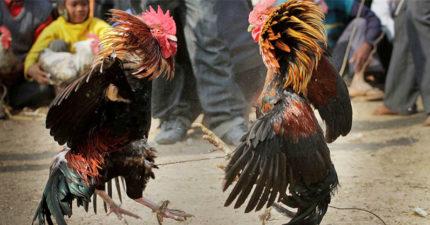 鬥雞「腿藏小刀」刺斃主人 警關押「兇手雞」上法庭