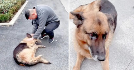 退休後被領養 警犬2年後重逢老夥伴「眼中泛淚」撒嬌:偶好想泥!