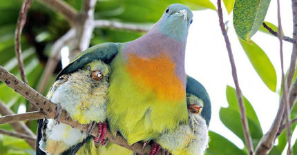仙氣「彩虹鴿子」真的存在!近拍「側面羽毛」超繽紛:顏色有夠夢幻