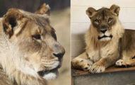 極罕見!母獅「長鬃毛」 獸醫抽血發現「壓力荷爾蒙」作祟